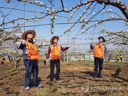 이상저온 피해 배 농가 일손돕기[연합뉴스 자료사진]