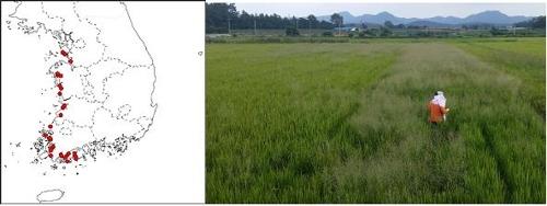 외래 잡초 '갯드렁새'가 자란 논(오른쪽)과 분포 지역 (왼쪽)