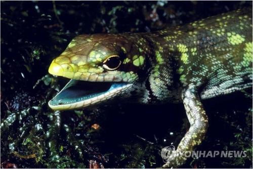 뉴기니섬 녹색피 도마뱀