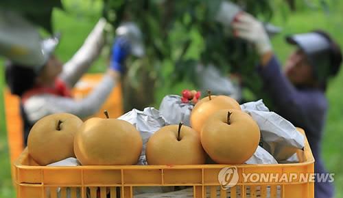 수출 회복에도 수요 급감…배 재배 면적 10년 만에 '반토막'