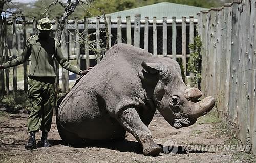 암컷만 두 마리 남은 북부흰코뿔소 복원 길 열려