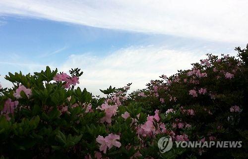 '연분홍의 설렘' 정선 두위봉 철쭉제..