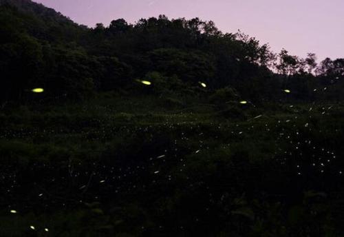 반딧불이의 황홀한 군무…옥천 안터마을 내달 9일까지 축제