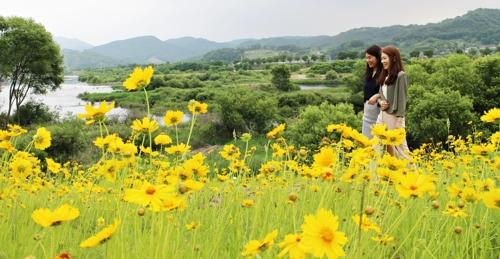[카메라뉴스] 노란 금계국 뒤덮인 금강 자라벌