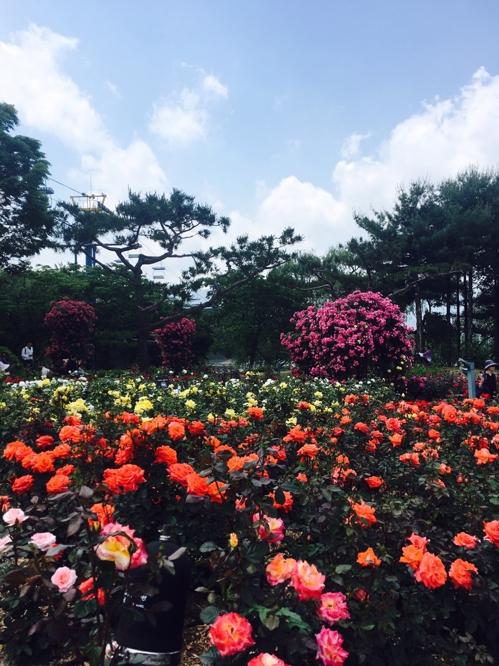 [현장] 서울대공원 장미 축제…'촬영 명당을 찾아라'