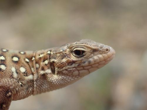 멸종위기 II급 표범장지뱀
