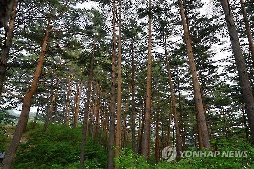 울진 금강송숲 [산림청 제공=연합뉴스]