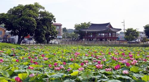 [카메라뉴스] 최치원이 거닐었던 정읍 피향정에 연꽃 만발