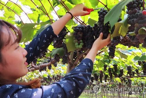 [충북소식] 옥천군 20∼22일 포도 수확 체험장 운영