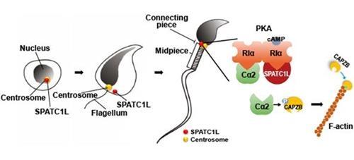 정자 '머리-꼬리' 안 끊어지게 돕는 단백질 최초 발견