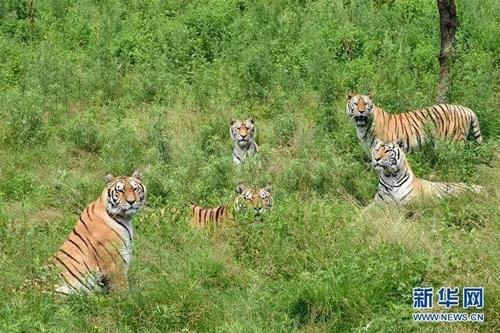 中헤이룽장성 하이린 사육원의 호랑이들 [중국 신화망 캡처]