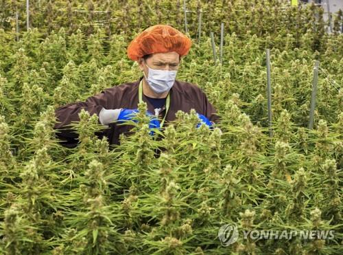 의료용 마리화나 재배 [EPA=연합뉴스]