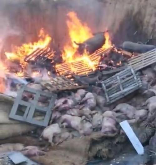 중국서 아프리카돼지콜레라 첫 발생…8천마리 살처분