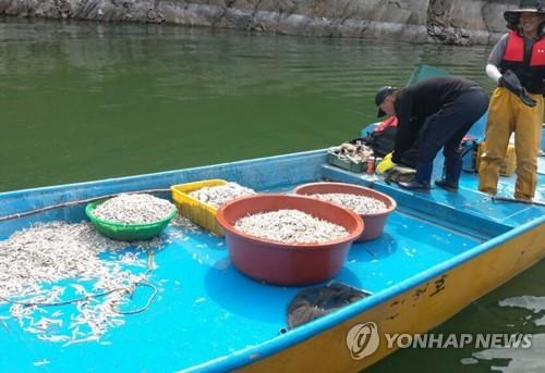 대청호에서 건져 올린 죽은 빙어 [연합뉴스 자료사진]