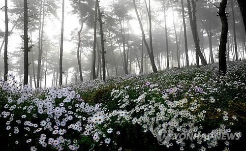 정읍 구절초테마공원 [연합뉴스 자료사진]