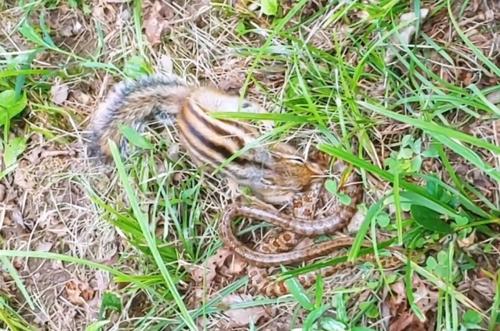 다람쥐-누룩뱀 대결 결과는…설악산 촬영 영상 눈길
