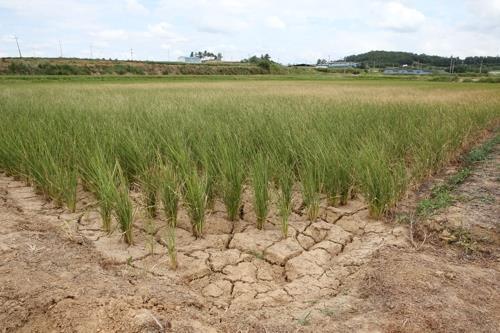 폭염 물러가도 가뭄·고수온 걱정…전남 농어촌 '여름 잔혹사'