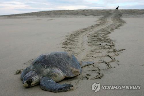 멕시코 남부 해안서 멸종위기 거북 113마리 떼죽음