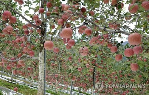 영월 사과[연합뉴스 자료 사진]