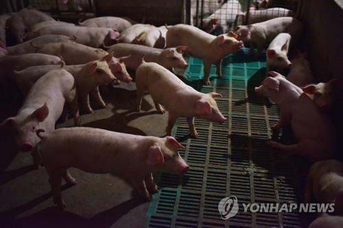 중국 허난성의 한 돼지농장 [AFP=연합뉴스 자료사진]