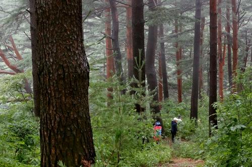 [연합이매진] 울진 금강소나무숲길