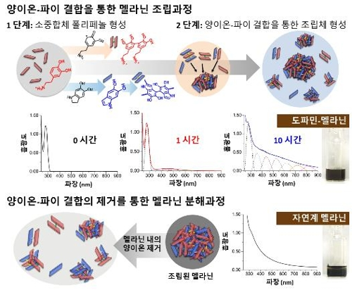 양이온-파이결합에 의한 멜라닌 형성·분해과정