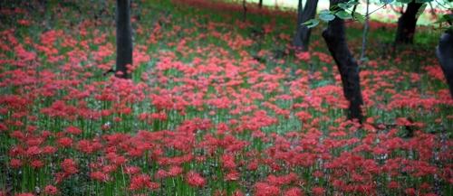 붉게 물든 해보면 꽃무릇 공원.