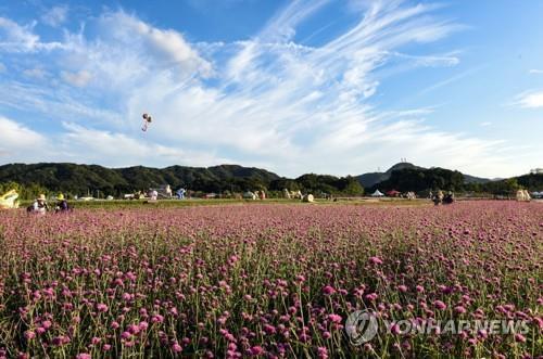 천일홍 만개한 양주 나리공원[연합뉴스 자료사진]