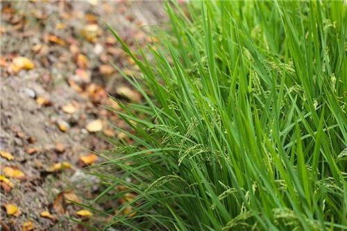 단내 성지 앞에서 이천 쌀이 익어가고 있다.