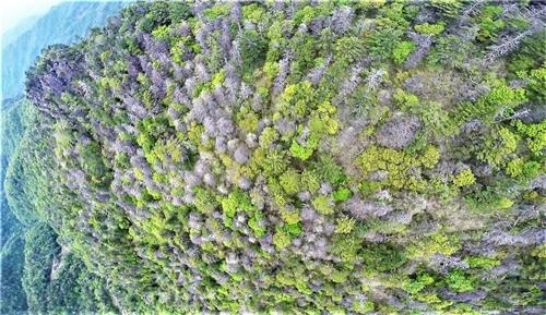 지리산 정상봉인 천왕봉-중봉의 북사면에서 나타난 고산침엽수 떼죽음