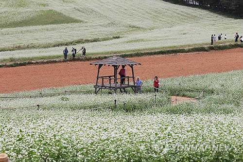 고창 청보리밭의 변신…50만㎡ 흐드러..