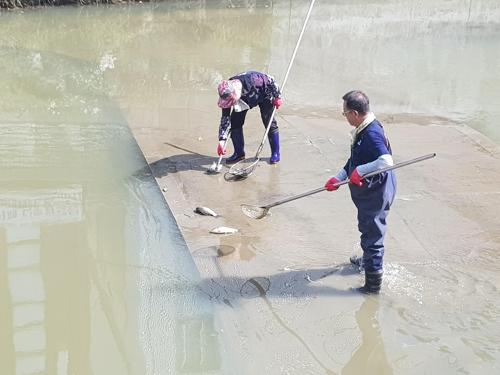 떠내려온 죽은 물고기 수거 작업