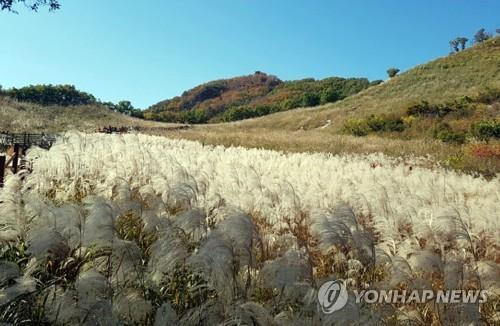 '은빛 물결' 포천 명성산 억새밭[연합뉴스 자료사진]