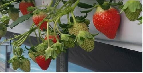 딸기 신품종 '금실'