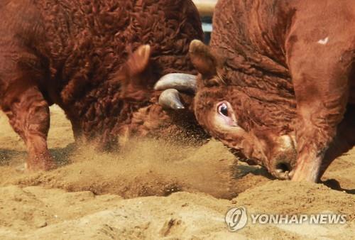 """""""최고의 싸움소 가린다""""…정읍 민속소싸움대회 25일 개막"""