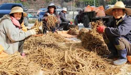 사포닌 2배…신품종 으뜸 도라지 영동 산골서 수확 한창