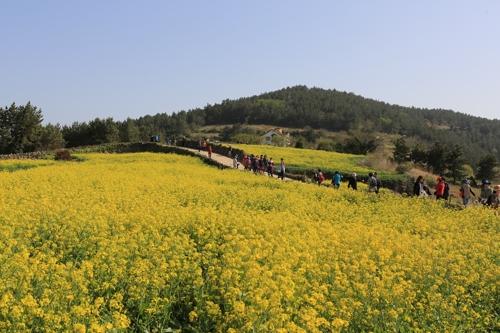 봄 유채·여름 메밀·가을 코스모스…청산도 사계절 꽃 본다
