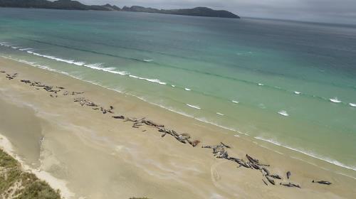 뉴질랜드 해변서 고래 145마리 떼죽음
