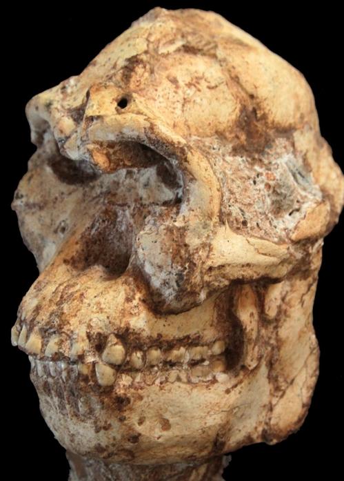 367만년 전 원인(猿人) '리틀풋' 연구결과 쏟아져