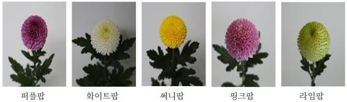경남농기원, 고소득 '퐁퐁국화' 120만 포기 조기보급