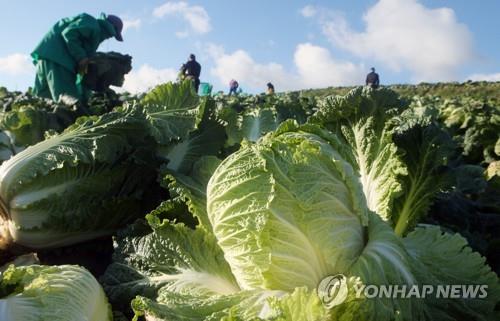 월동배추 가격 하락 '빨간불'…정부, 2만5천t 시장격리