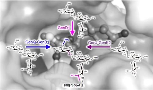 대표적 항생제 '젠타마이신 B' 생합성 과정 규명