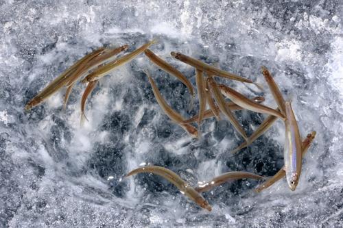 '겨울축제의 원조' 인제 빙어축제는 언제 ·어떻게 탄생했나