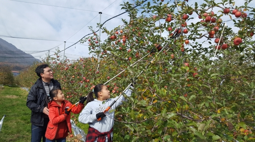 """""""수확체험 하세요"""" 거창군, 사과나무 500그루 선착순 분양"""