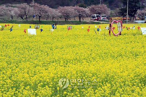 삼색 봄의 향연…삼척 유채꽃 축제 29일 개막