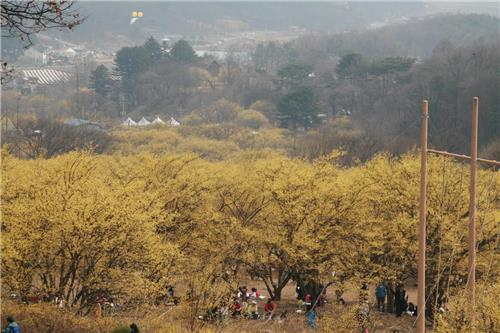 경기도 곳곳 꽃의 향연…올봄 꽃구경은 어디로 갈까?