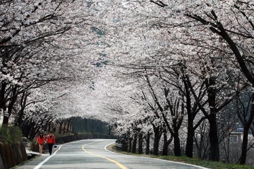 '연분홍 벚꽃의 유혹' 하동 화개장터 벚꽃축제 29일 팡파르