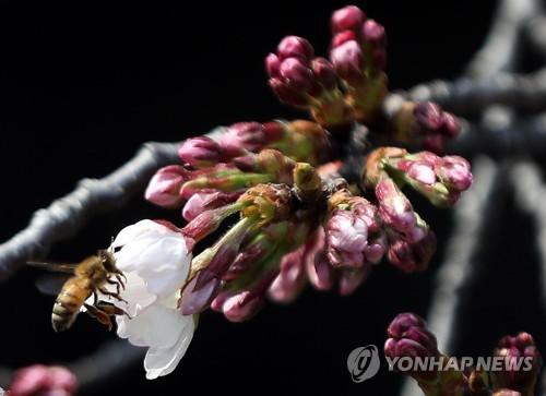 진해 군항제 성큼…물오른 벚나무 수줍은 꽃망울 열기 시작