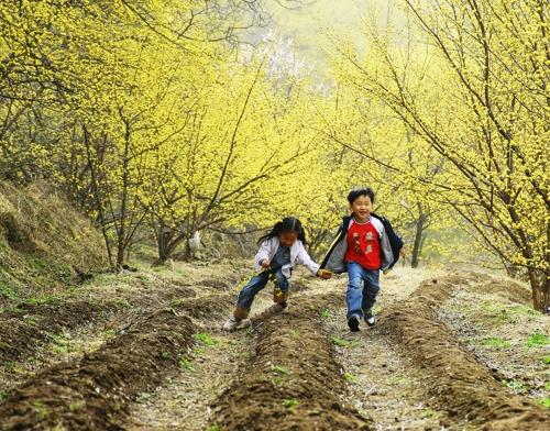 의성 산수유꽃 보러 오세요…300년 넘는 나무만 3만5천 그루