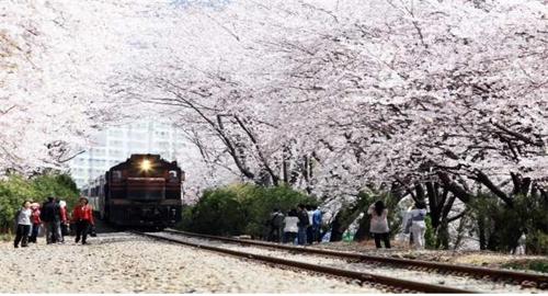 [광주소식] 코레일 광주본부, 진해 벚꽃 관광열차 운행